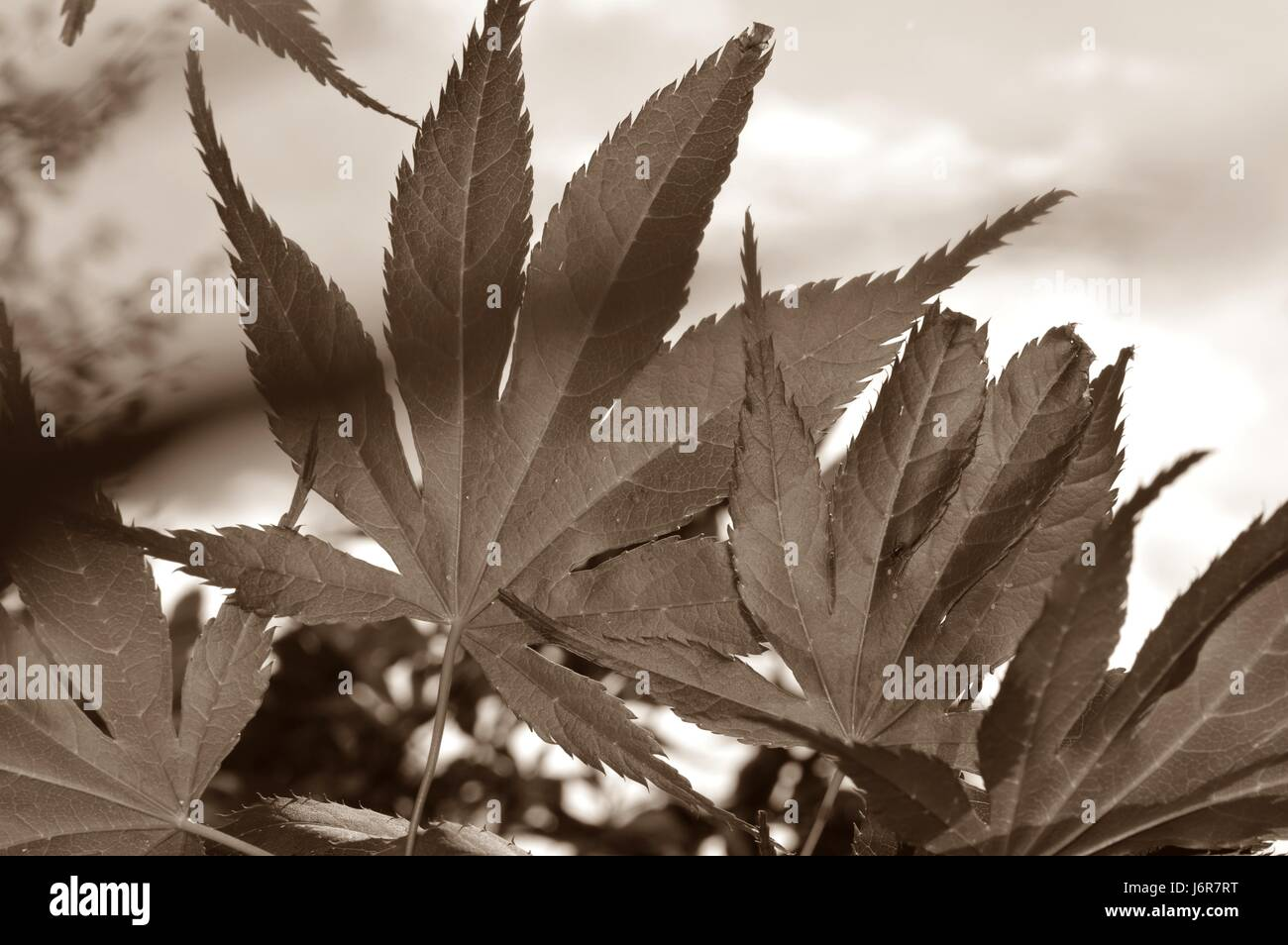 Japanese Maple - Stock Image
