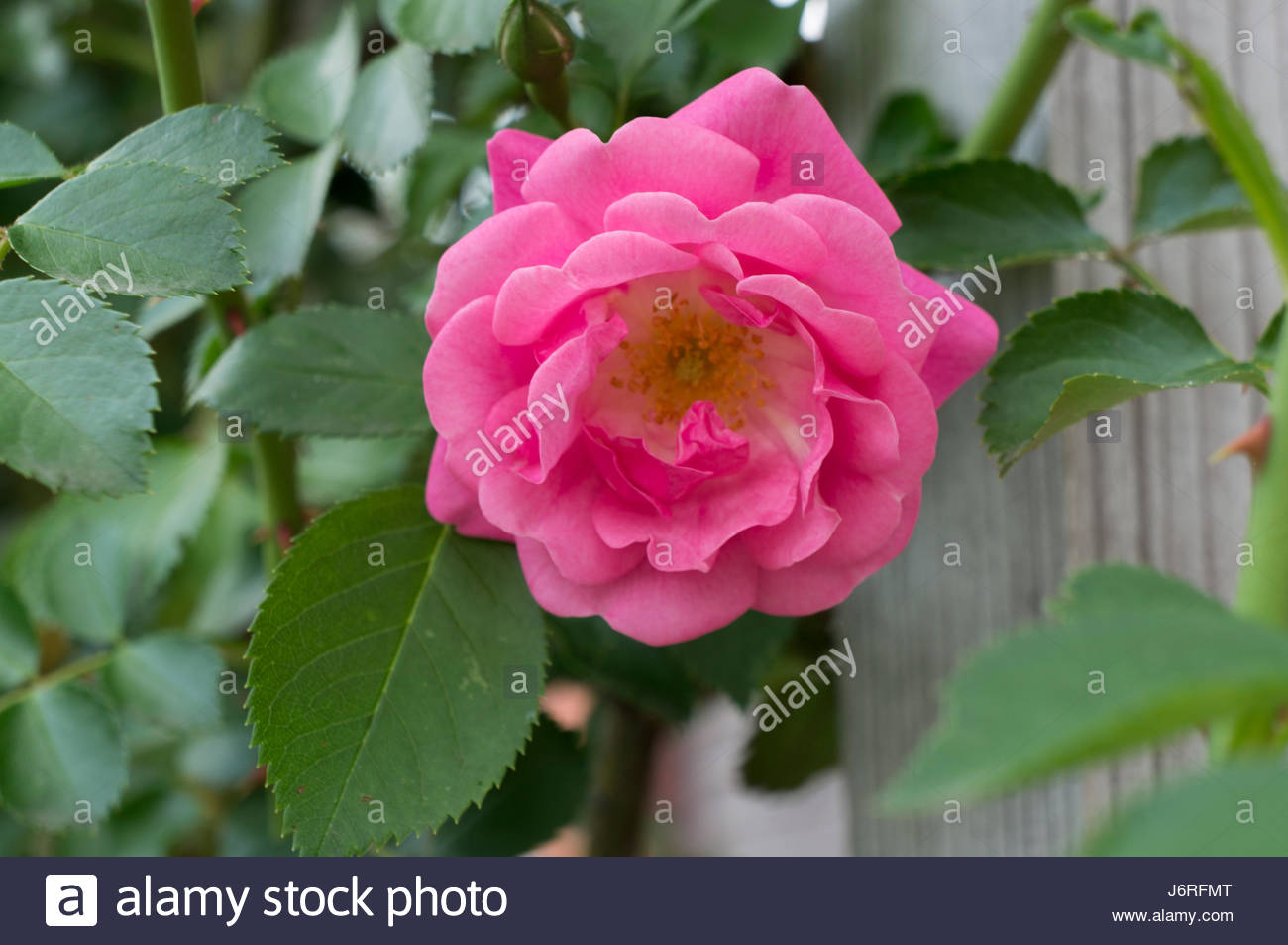 pink roses in the garden - Stock Image