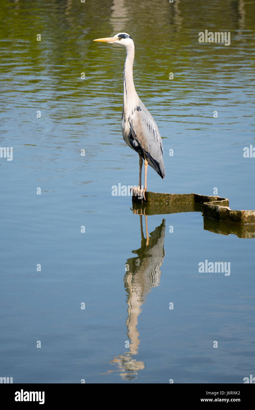 Heron standing motionless reflected in calm water - Stock Image