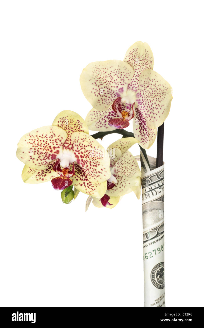 Yellow orchid flowers on a stalk wrapped in dollars isolated on a white background - Stock Image