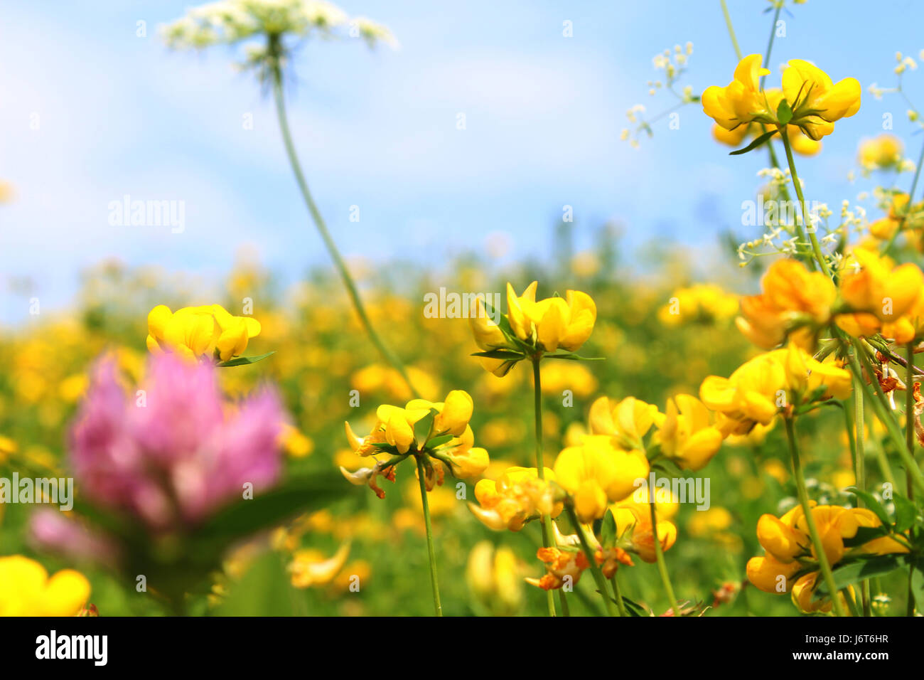 Yellow Clover Flower Stock Photos Yellow Clover Flower Stock