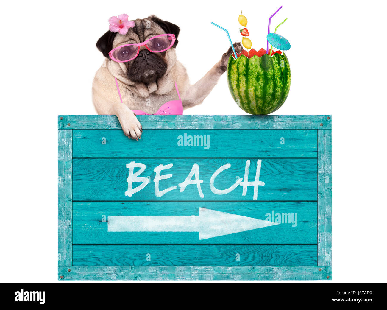 bikini babe pug dog with blue vintage wooden beach sign and watermelon cocktail, isolated on white background Stock Photo