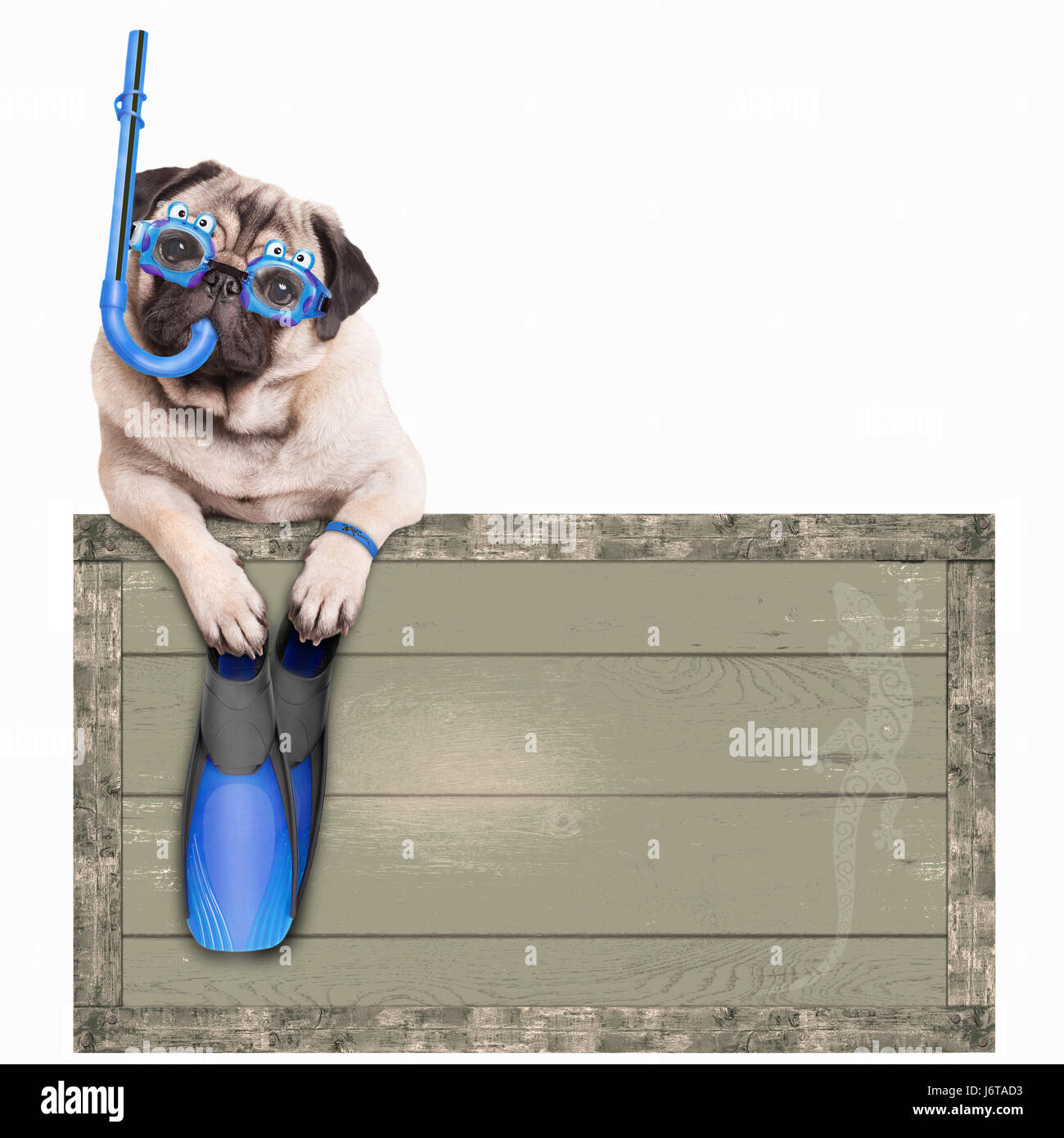 funny pug dog with blue vintage wooden beach sign, with goggles, snorkel and flippers for summer, isolated on white Stock Photo