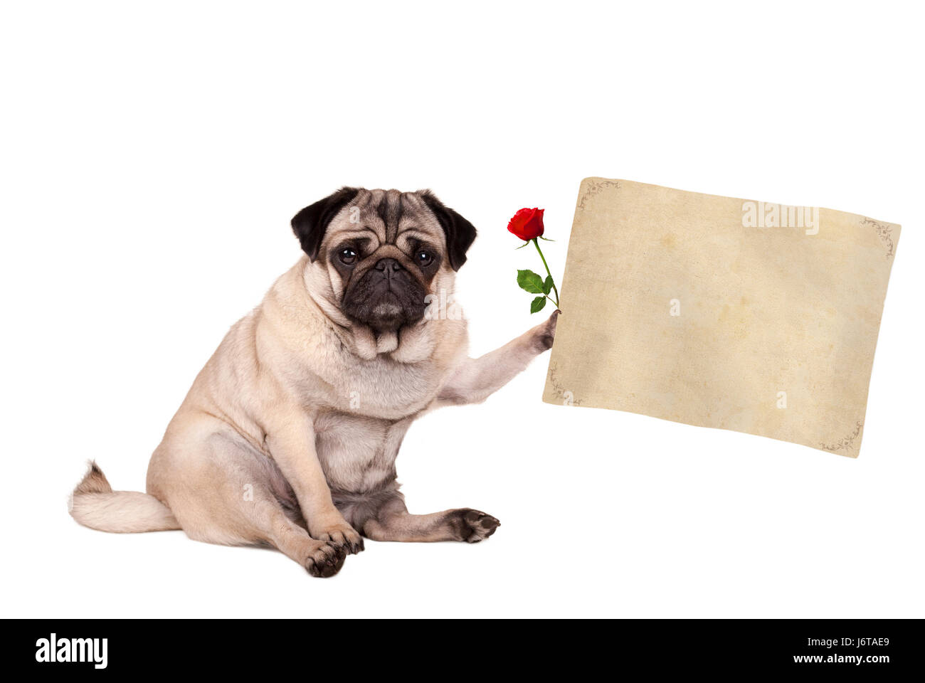 lovely cute pug puppy dog sitting down holding blank vintage paper scroll, isolated on white background Stock Photo