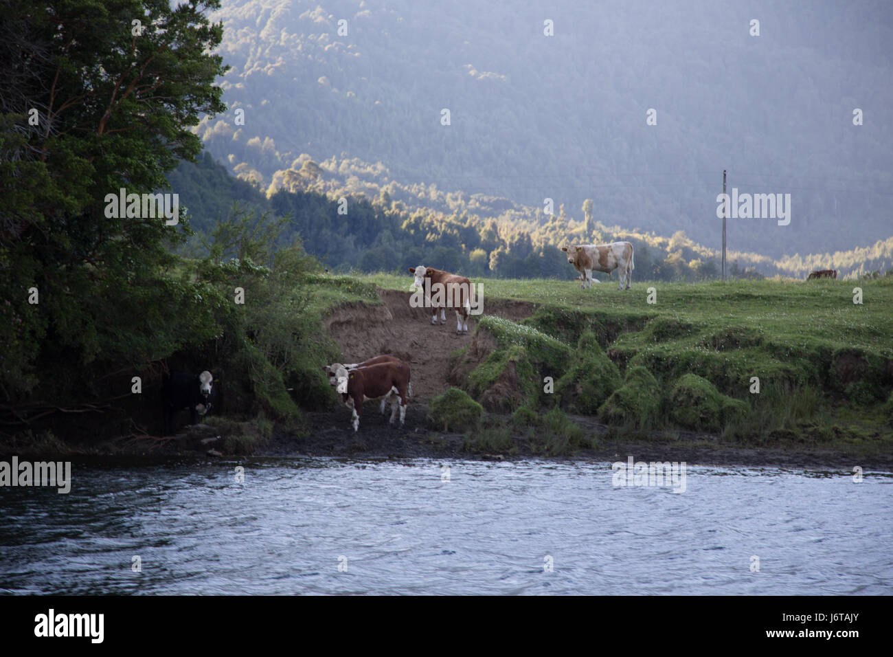cows at the shore of the Aysen canals. - Stock Image