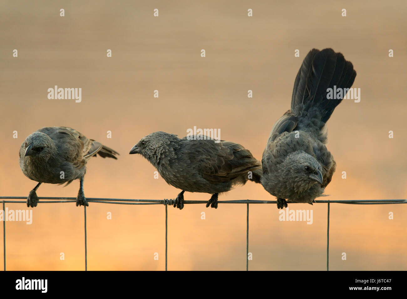 Australian native Apostlebirds / Struthidea cinerea on a fence - Stock Image