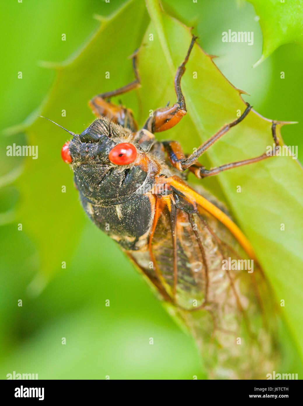 Brood X cicada (Magicicada), May 2017 - Virginia USA - Stock Image