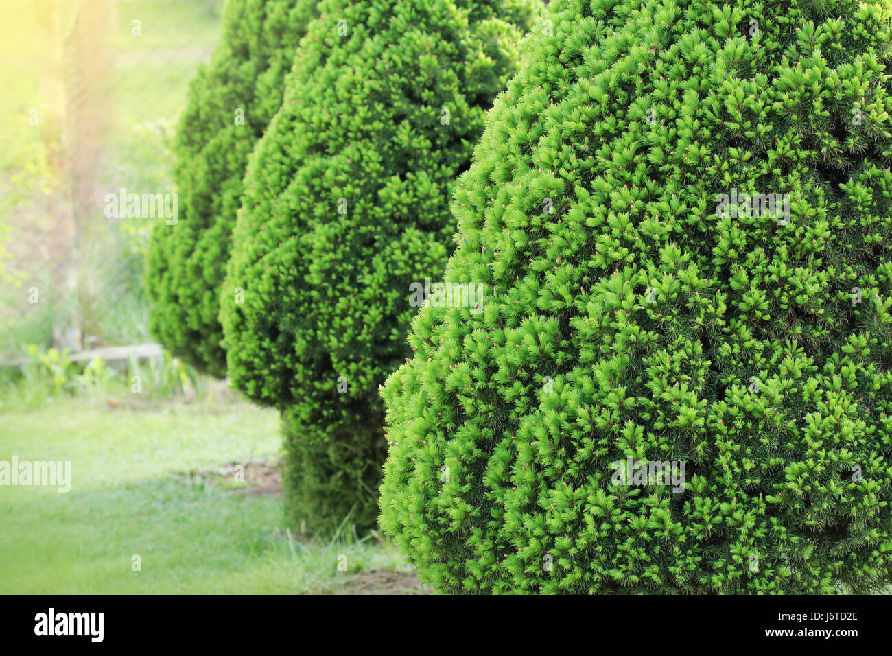 Picea glauca Conica dwarf decorative coniferous evergreen tree. Also known as Canadian, skunk , cat , Black Hills, - Stock Image