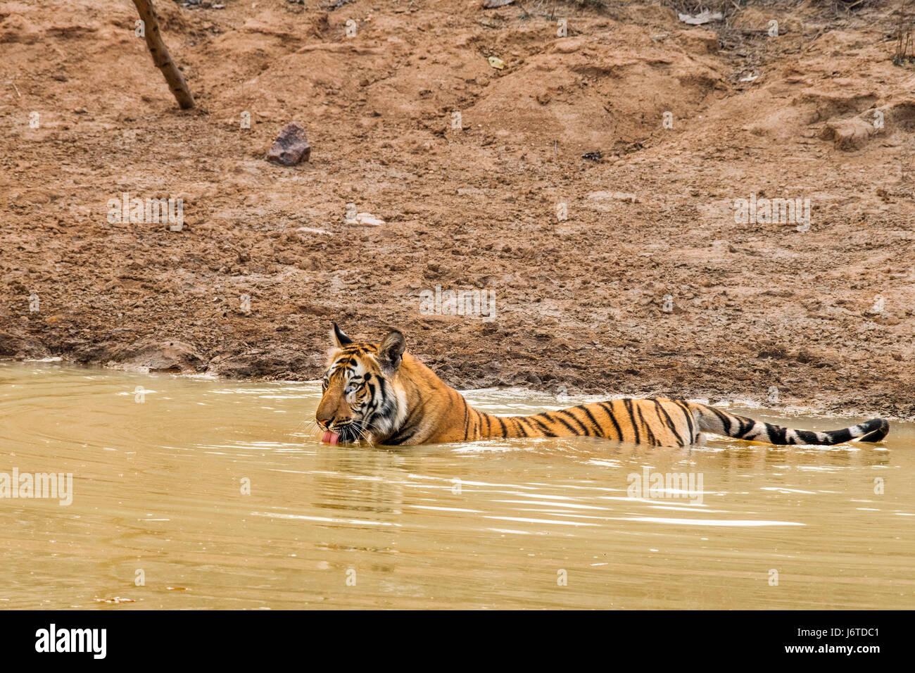 Tigers of Bandhavgarh India - Stock Image