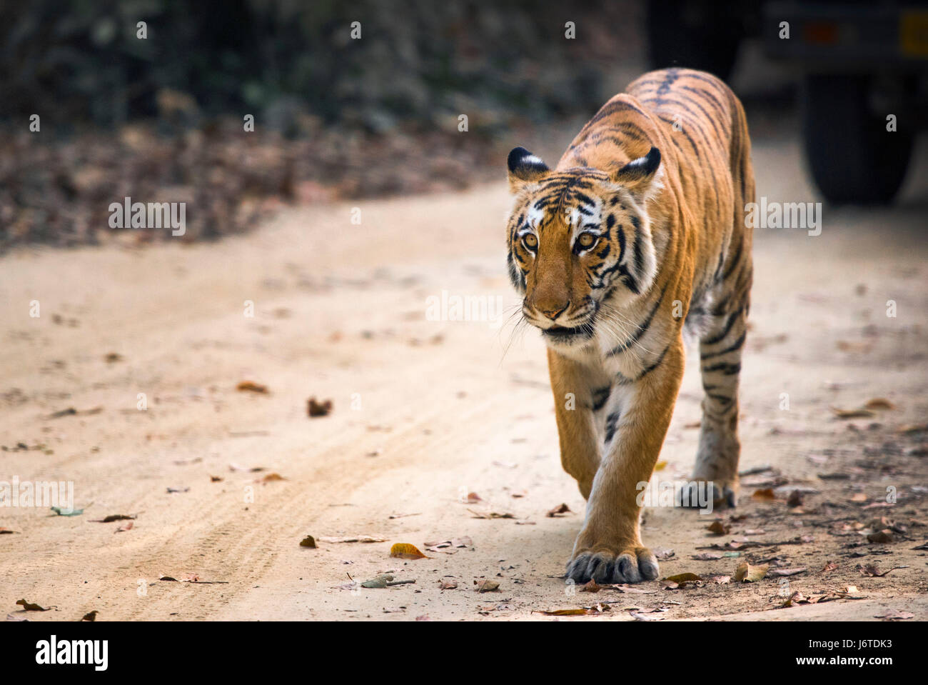 Tiger closeups - Stock Image