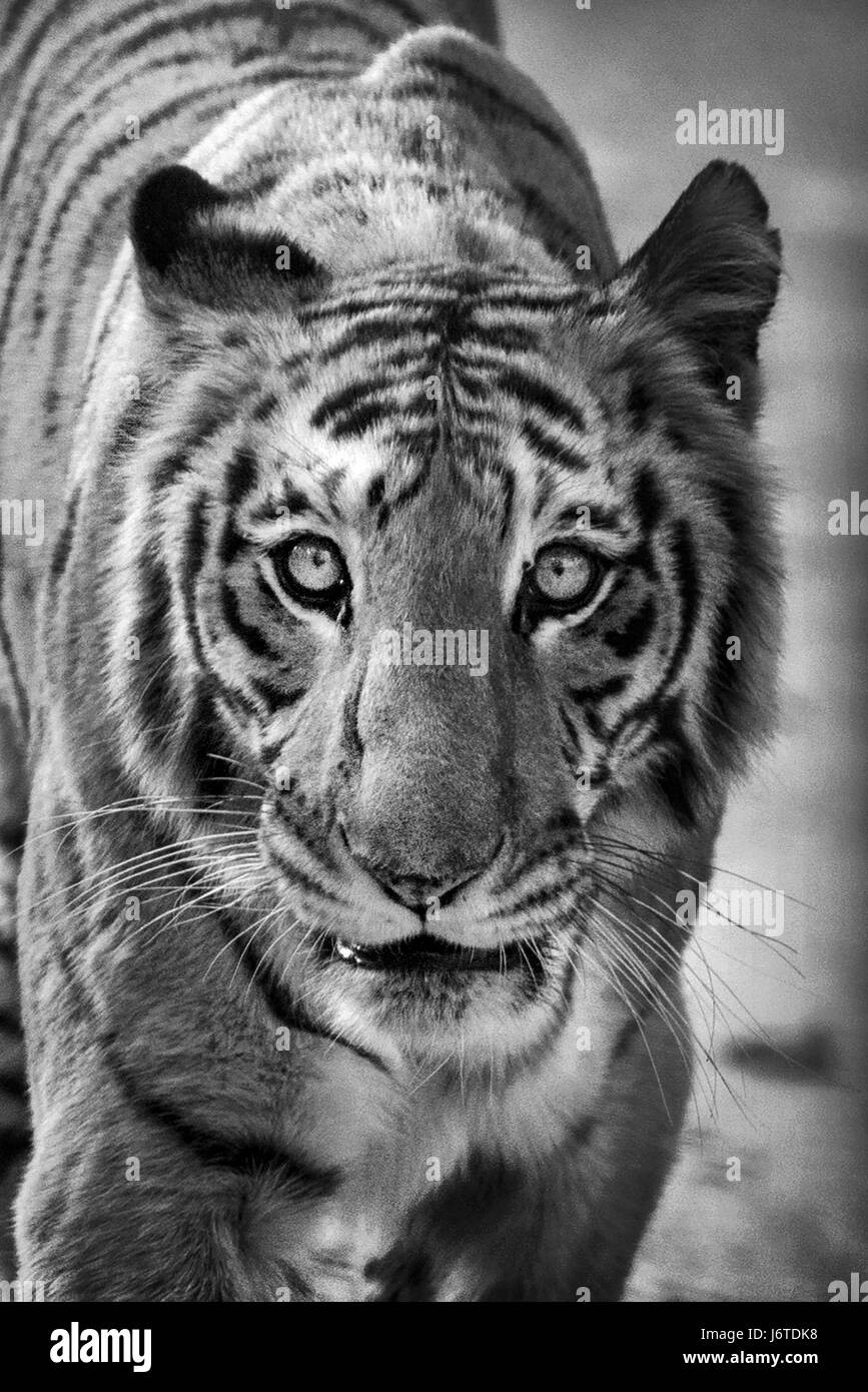 662f60b99 Tiger Portrait Black and White Stock Photos & Images - Alamy