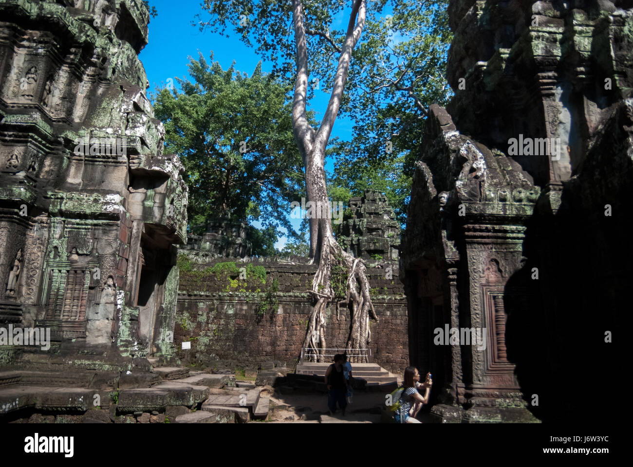 A silk-cotton tree growing on the wall of Preah Khan temple in Siem Reap, Cambodia. - Stock Image