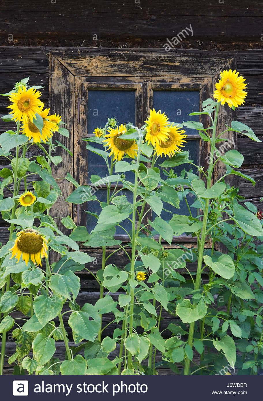 garden flower plant sunflower cottage country cabin windows window garden - Stock Image
