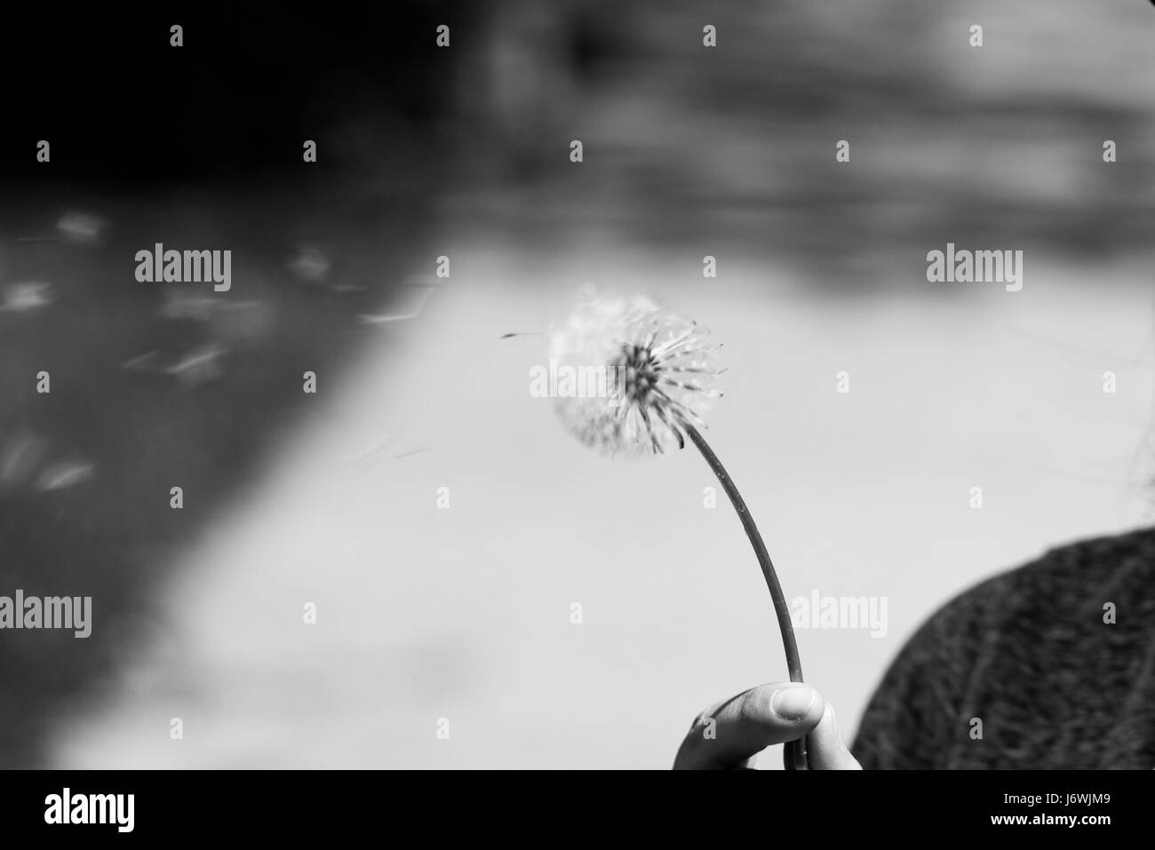 Dandelion Blowing Black And White Stock Photos Images Alamy