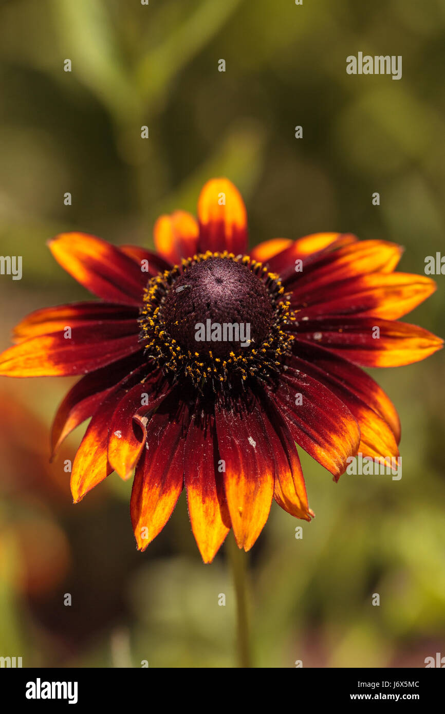 Echibeckia Daisy Flower Is A Cross Between Echinacea And Rudbeckia Stock Photo Alamy Daisies and poms are a spray flower, meaning that they have more than one bloom on a single stem. https www alamy com stock photo echibeckia daisy flower is a cross between echinacea and rudbeckia 141946124 html