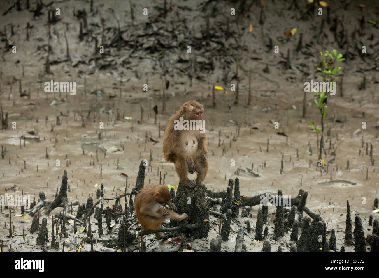 Rhesus monkey at the Kolagachia Eco Tourism Centre in the Sundarbans, a UNESCO World Heritage Site and a wildlife - Stock Image