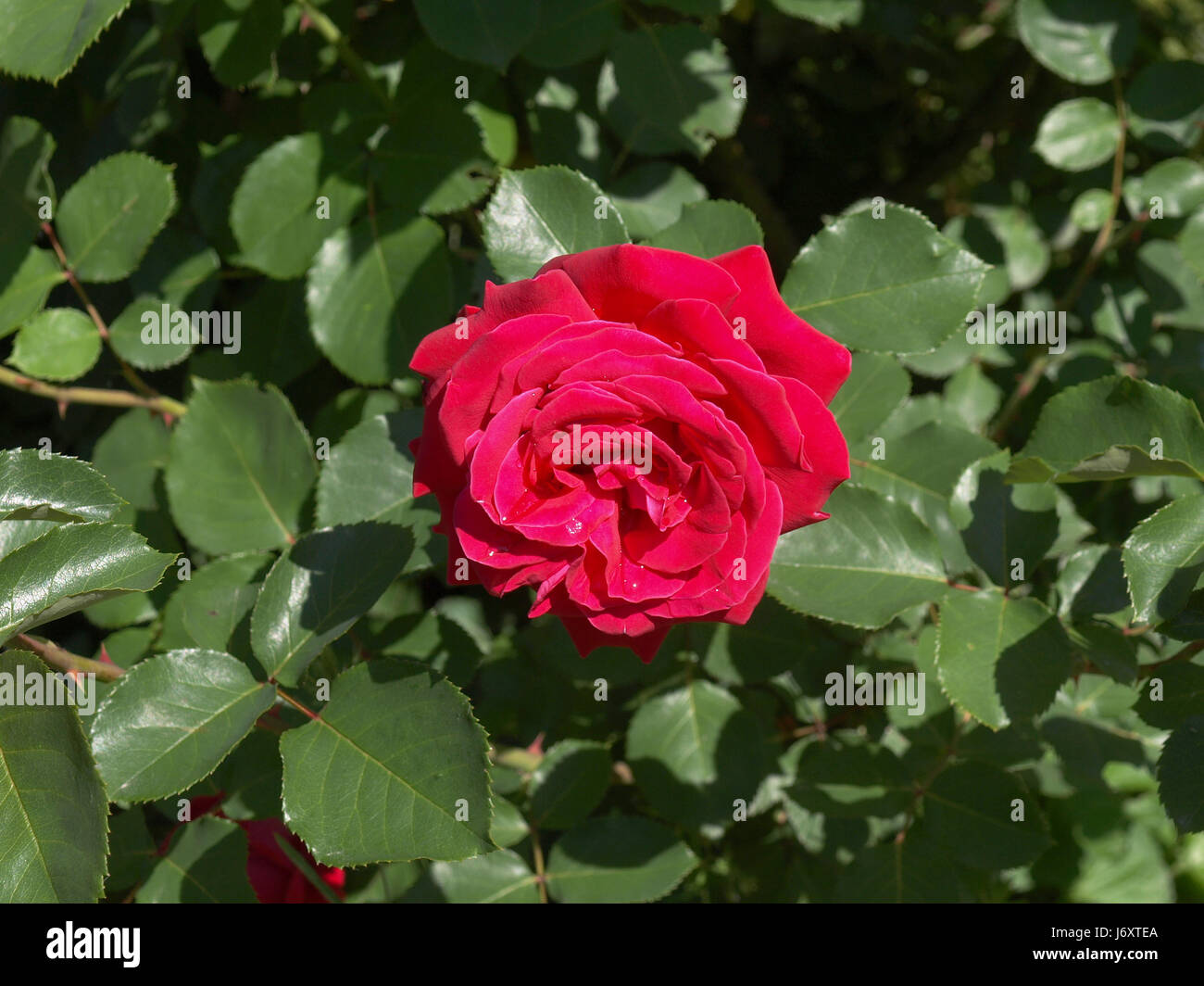 Flower Plant Rose Red Leaf Tree Flower Plant Rose Leaves Purple Bush Stock Photo Alamy