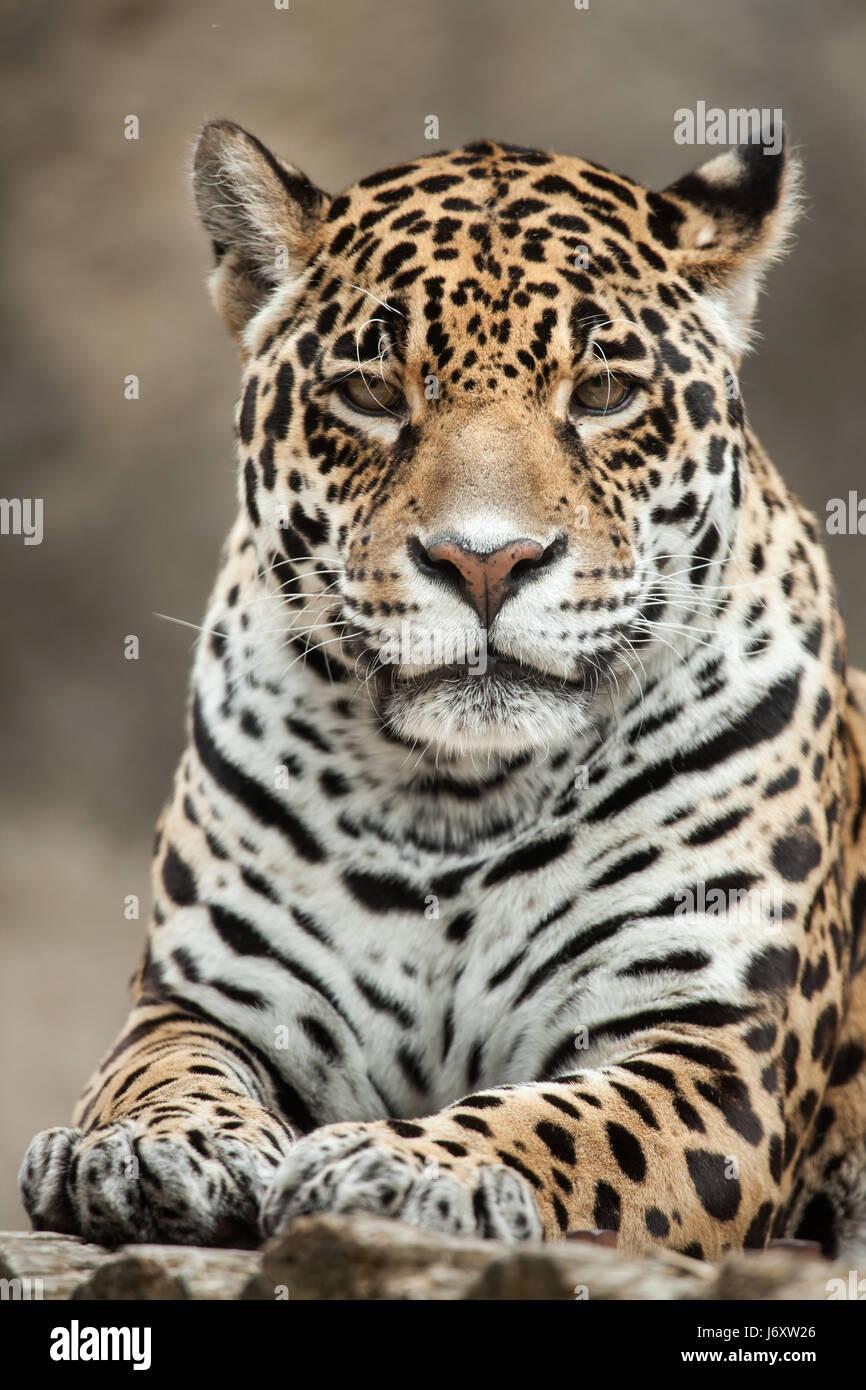 Jaguar (Panthera onca). Wildlife animal. - Stock Image