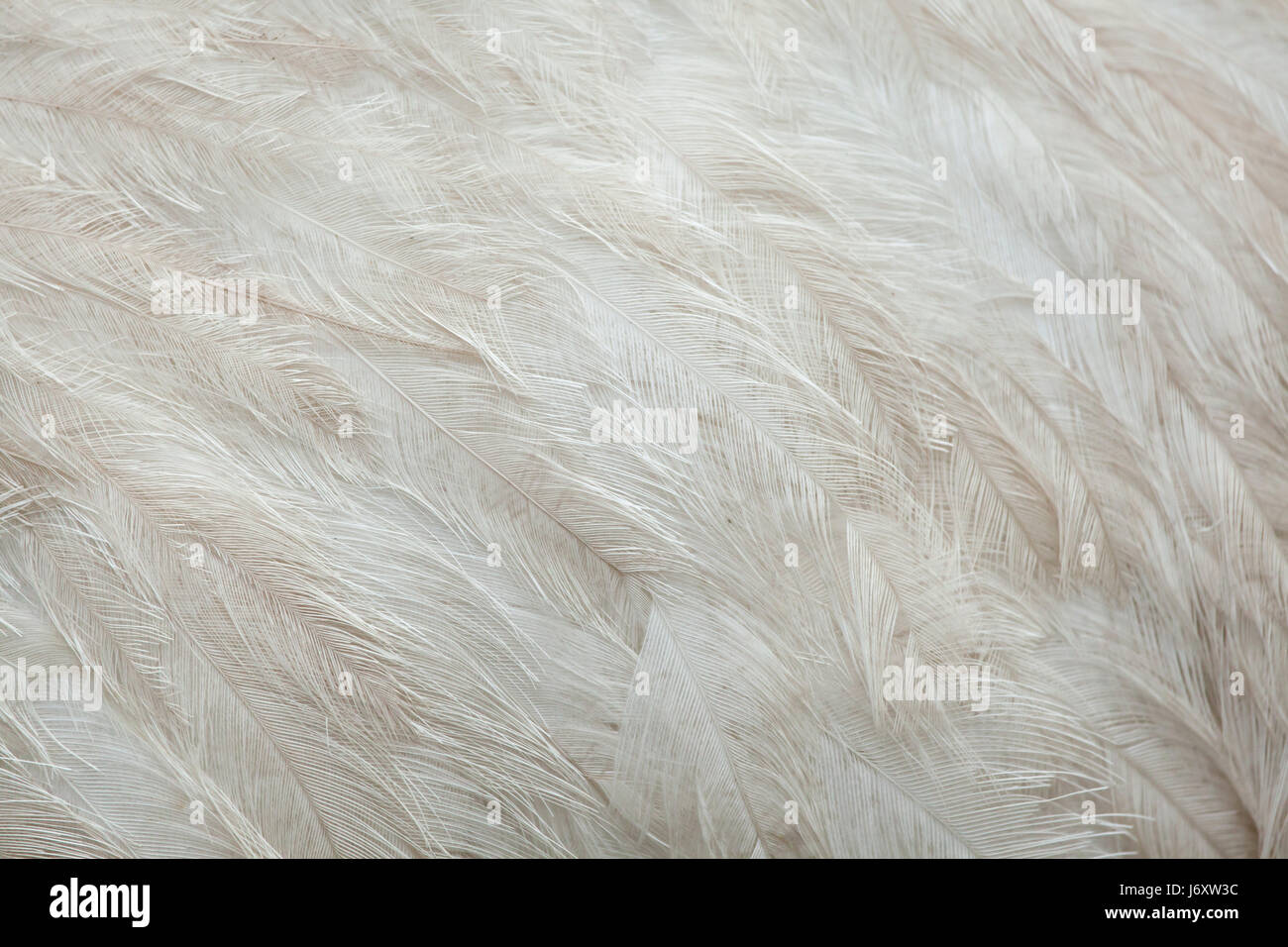 Greater rhea (Rhea americana), also known as the common rhea. White leucistic form. Plumage texture. - Stock Image