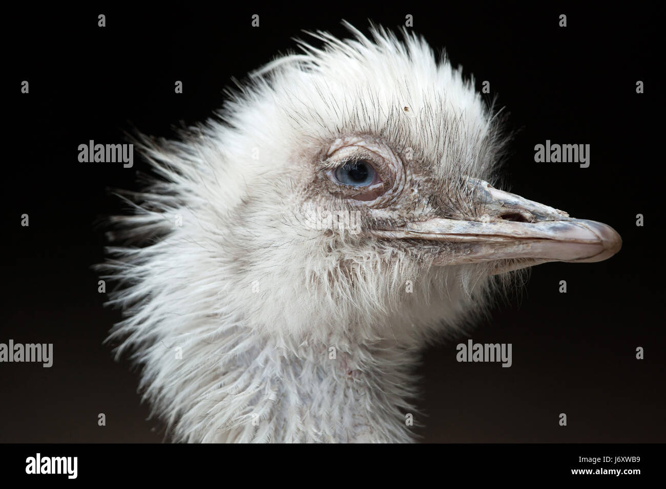 Greater rhea (Rhea americana), also known as the common rhea. White leucistic form. - Stock Image
