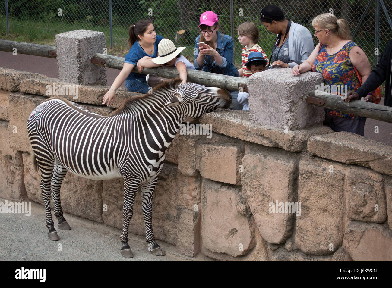 Visitors looking at the Grevy's zebra (Equus grevyi), also known as the  imperial