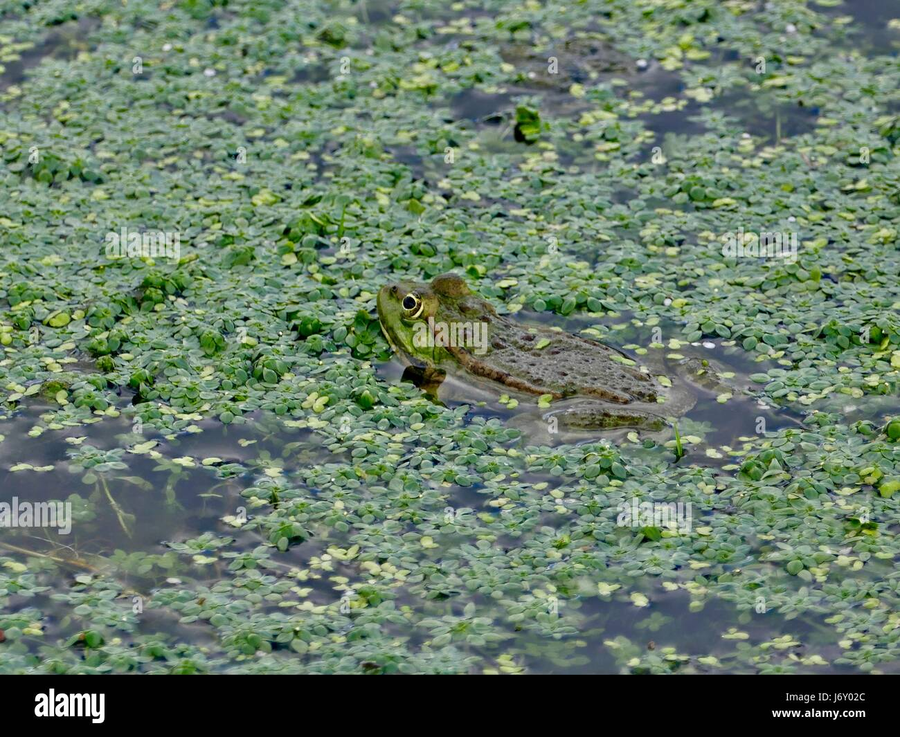 Green European edible frog surrounded by water and green vegetation. Bayeux, France - Stock Image