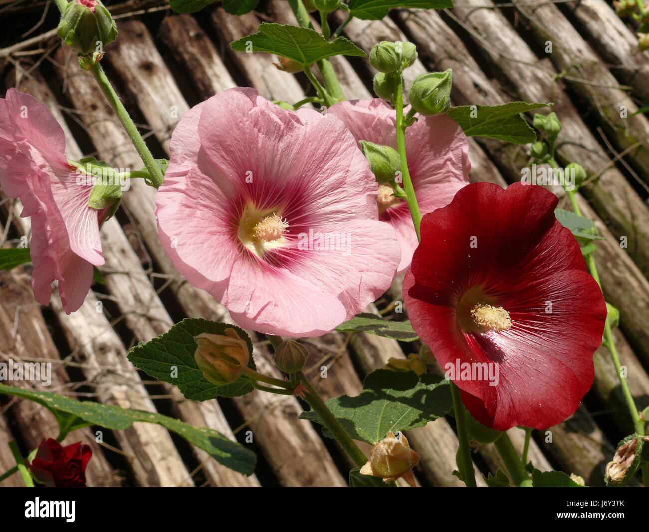 leaves roses buds mallow red plant pink still life brown brownish brunette Stock Photo