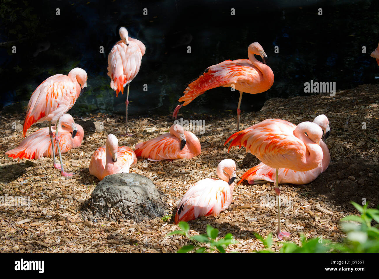 A group of Chilean flamingos relaxing in the late afternoon sunshine - Stock Image