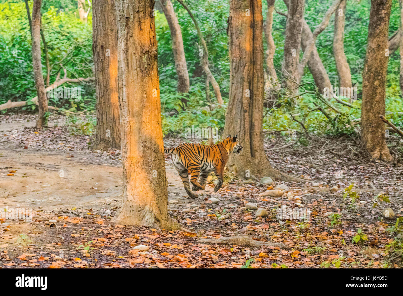 Tiger Chasing - Stock Image