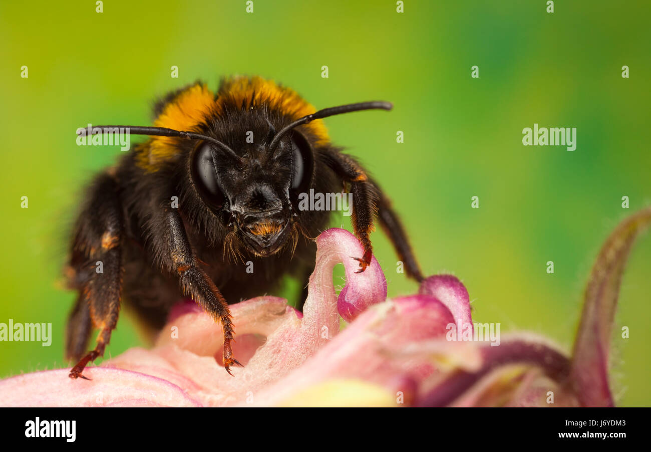 Bumblebee collecting nectar from a flower - Stock Image