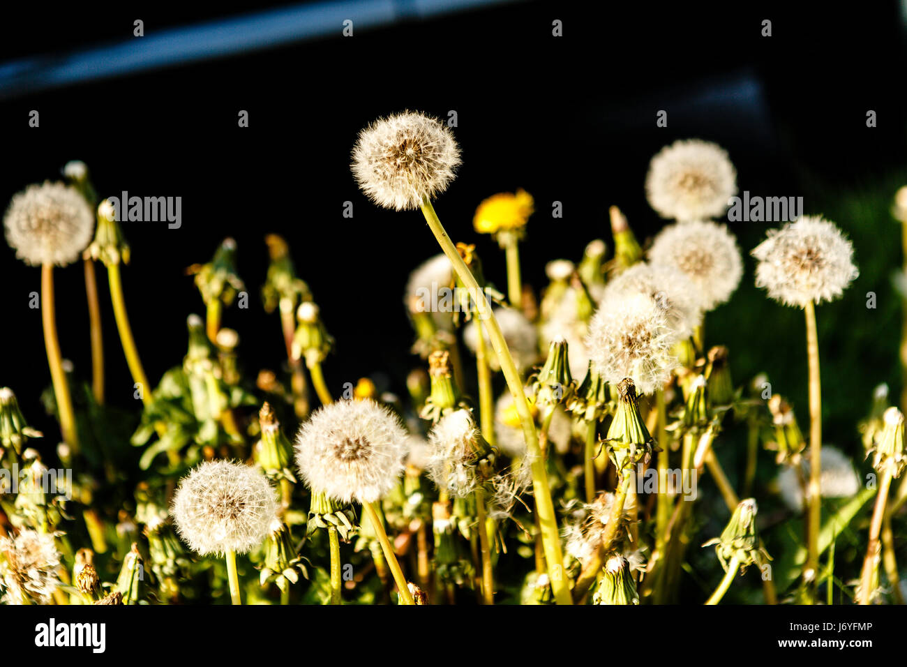 Field of dandelions, nothern Germany - Stock Image