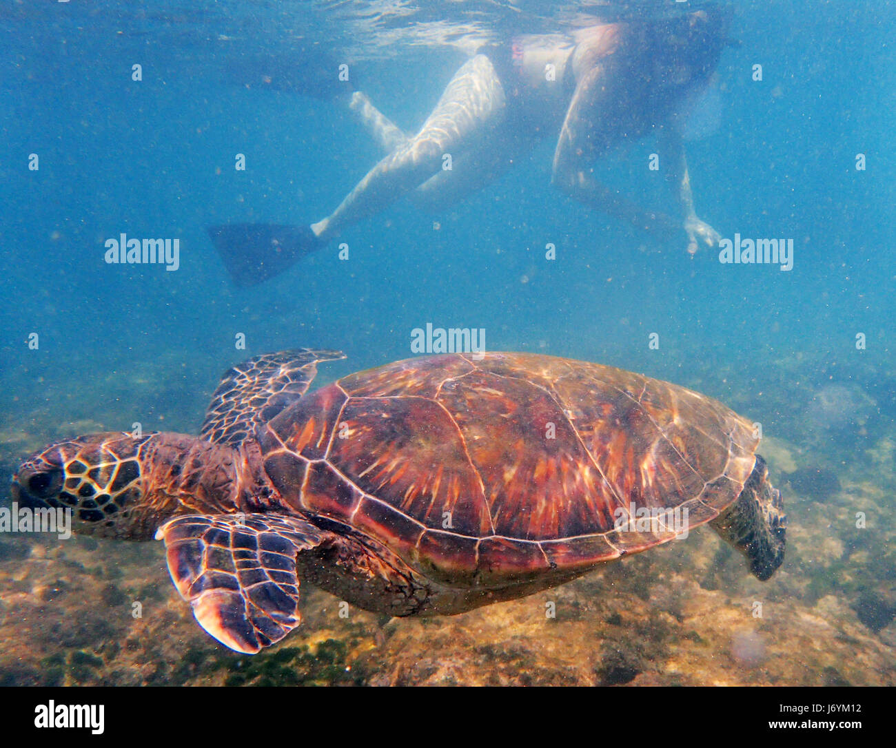 A snorkeler watches a Green Sea Turtle swimming of the coast of Maui. Hawaii - Stock Image