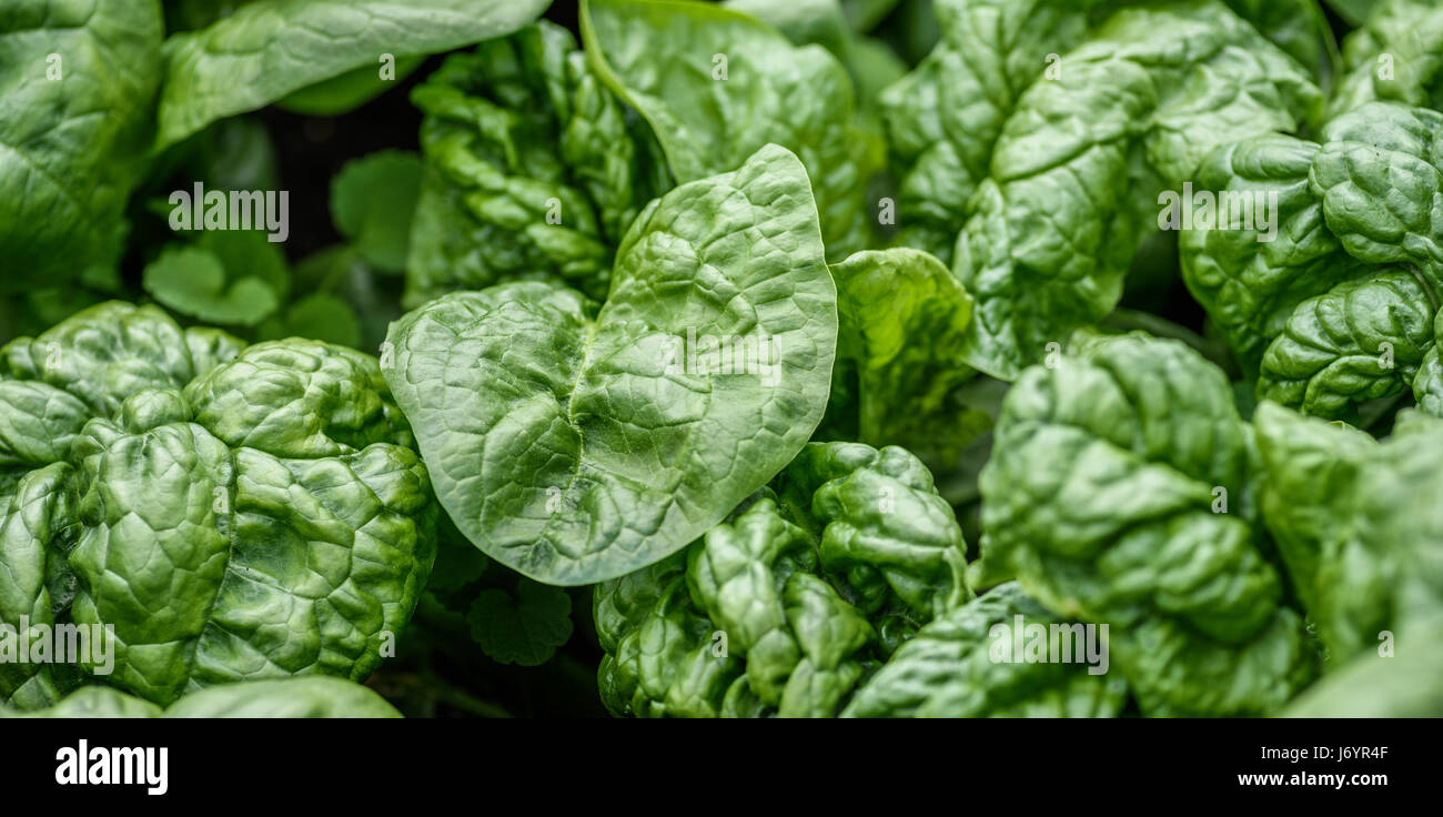 Tatsoi Growing Stock Photos Tatsoi Growing Stock Images