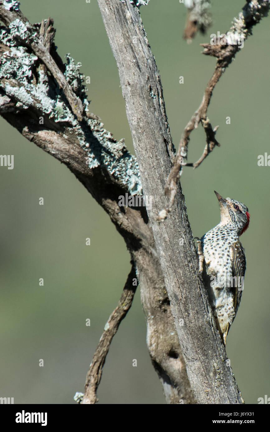 Woodpeckers - Stock Image