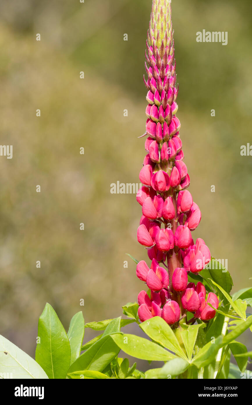 Red pink flowers in a single spike of the early summer flowering red pink flowers in a single spike of the early summer flowering lupin lupinus the page mightylinksfo