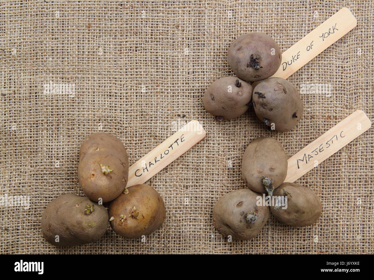 Varieties of seed potato (first early 'Red Duke of York'; second early, 'Charlotte' and main crop, - Stock Image