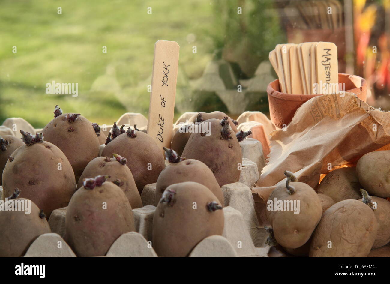 Seed potatoes chitting in egg box containers indoors on bright, warm window sill to  encourage strong shoots before - Stock Image