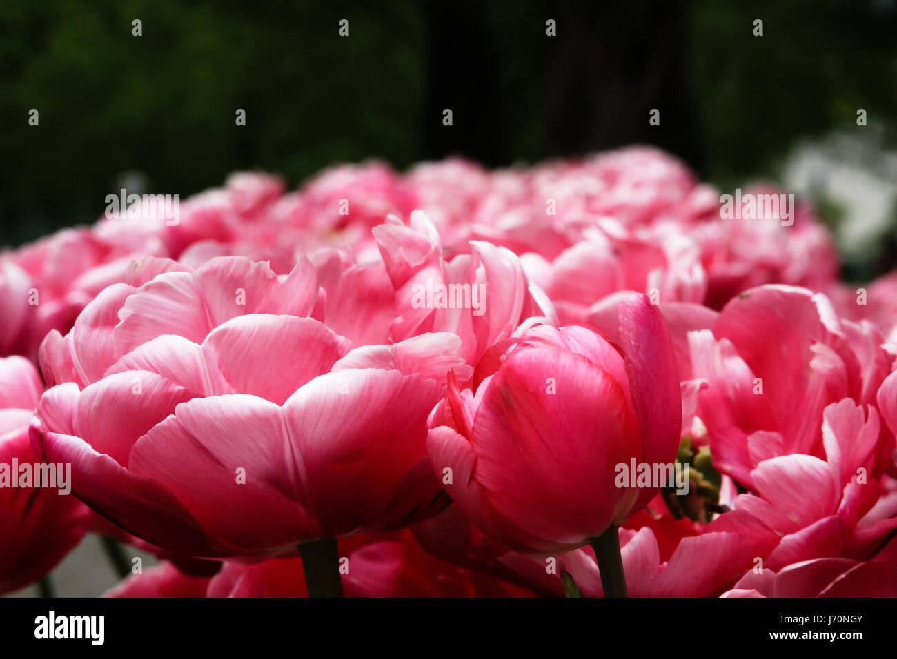 Tulip 'claudia' flowers at Keukenhof gardens - Stock Image
