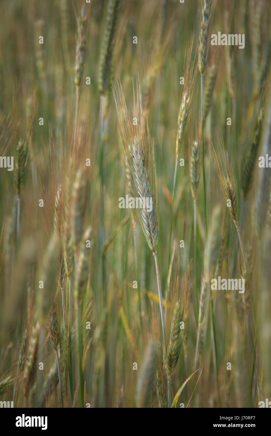 Wheat field Virginia USA - Stock Image