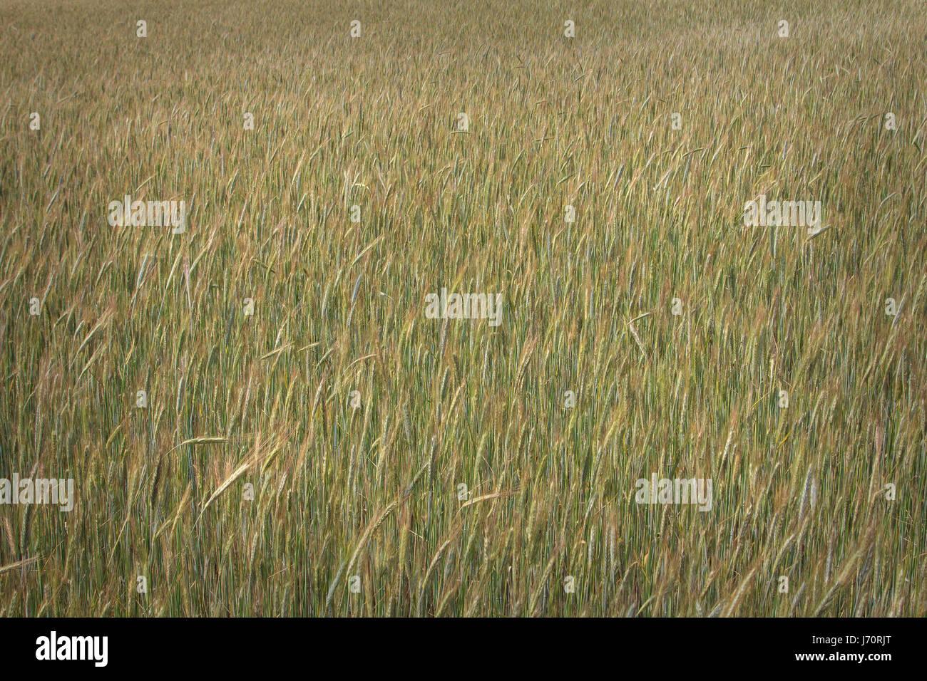 Wheat field Virginia USA - Stock Image