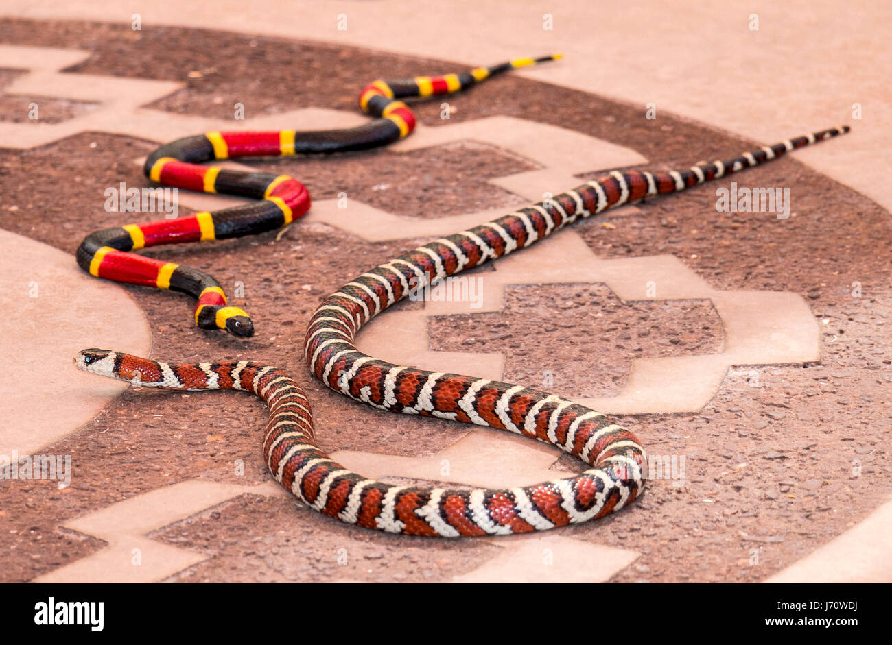 California mountain kingsnake next to a toy coral snake. The kingsnake is a species of nonvenomous snake  endemic - Stock Image