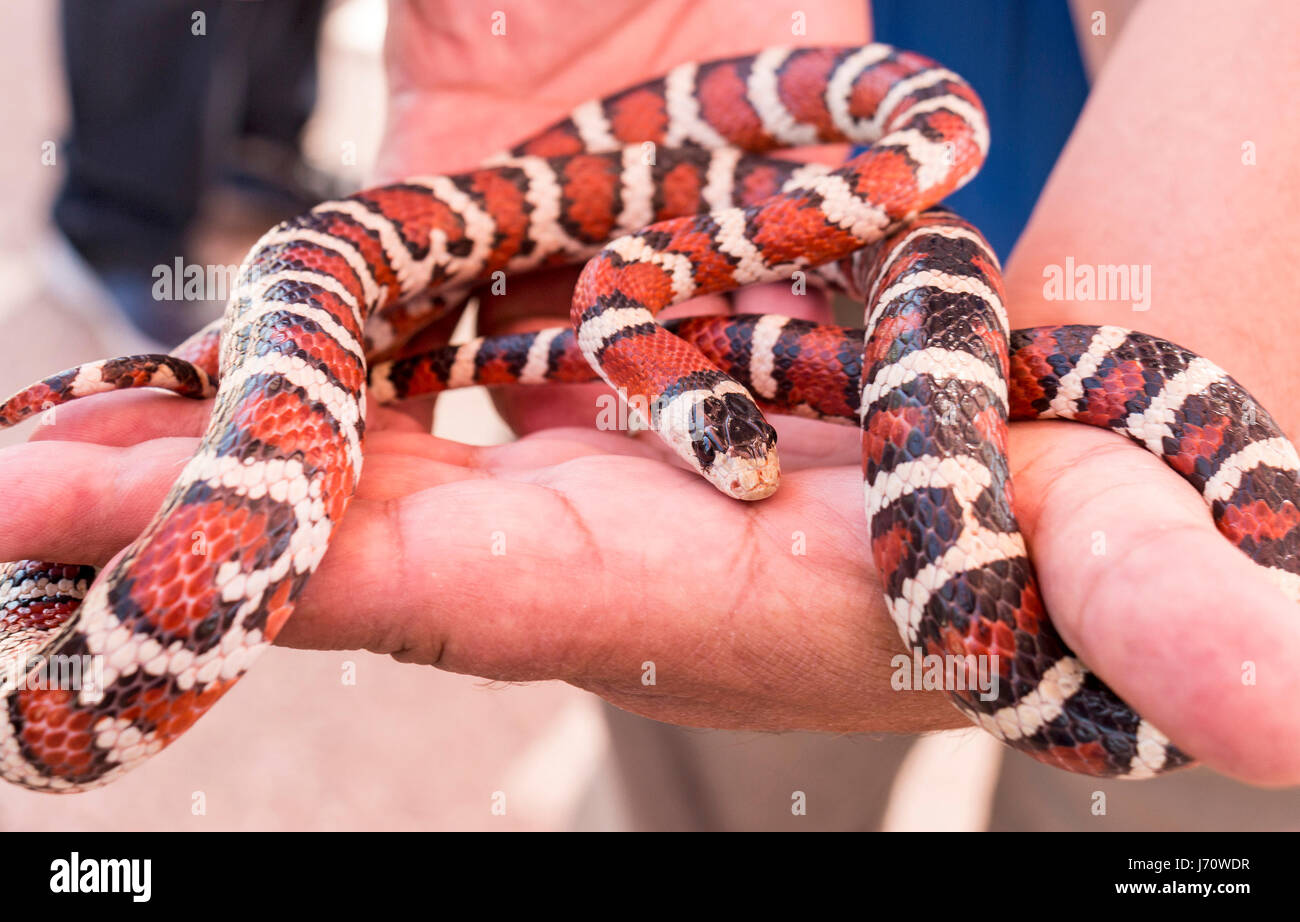 The California mountain kingsnake is a species of nonvenomous snake  endemic to North America. It is a coral snake - Stock Image