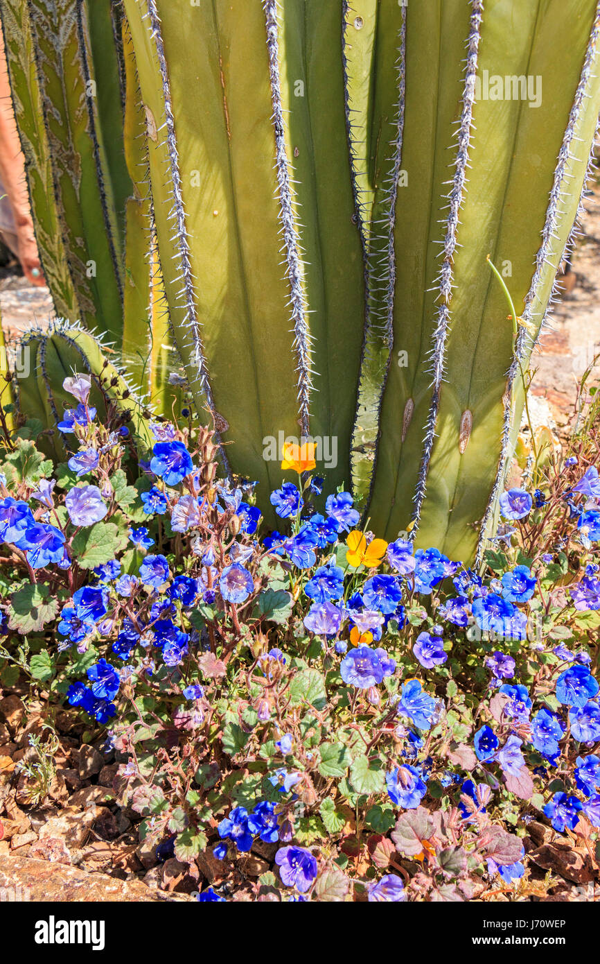 Mexican fencepost cactus is a tall cactus with columnar trunks that grow slowly to 12 feet (3.7m) and may reach - Stock Image