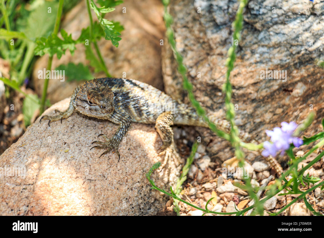 The desert spiny lizard ranges across the deserts of southwestern Arizona and the northeastern plateaus at elevations - Stock Image