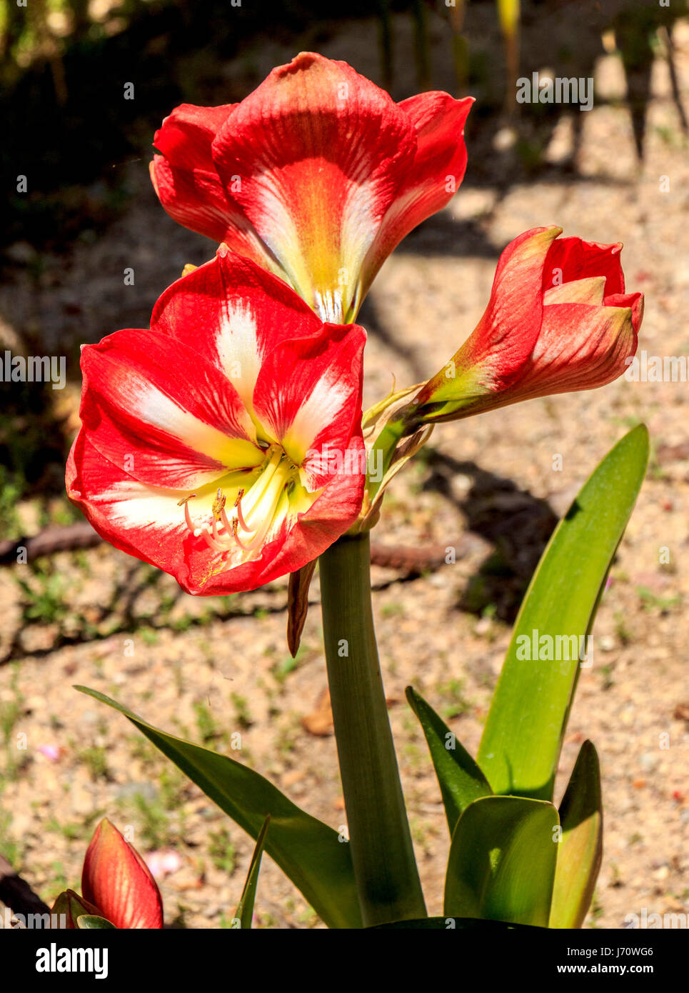 Known as amaryllis, this South American flower grows from a bulb, and has become a popular house plant, particularly Stock Photo
