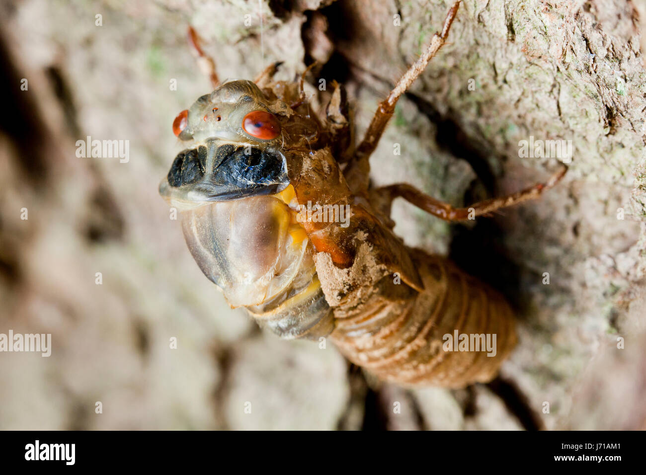 Brood X cicada (Magicicada) during final molt emerging from exoskeleton , May 2017 - Virginia USA - Stock Image