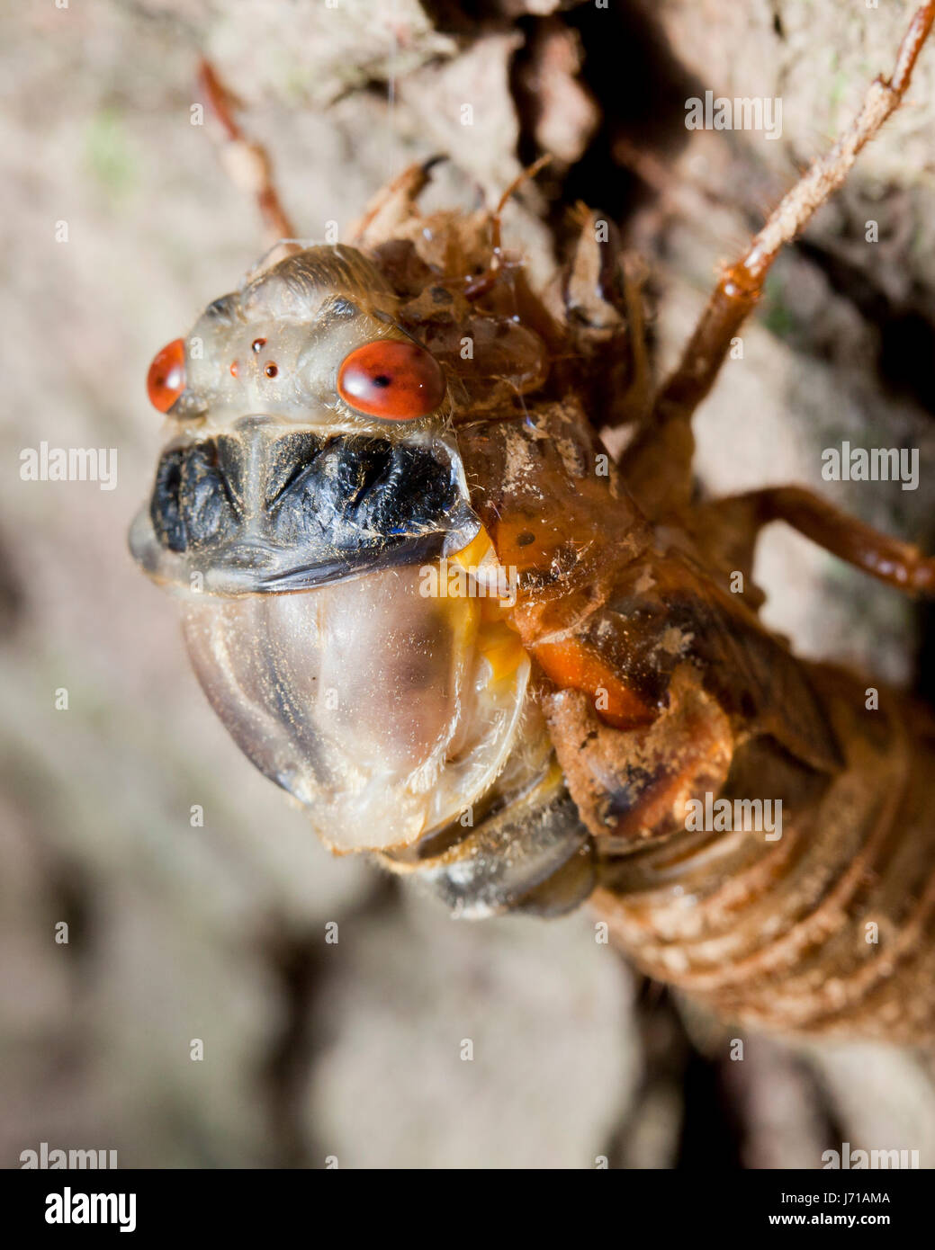 Brood X cicada (Magicicada) during final molt emerging from exoskeleton , May 2017 - Virginia USA Stock Photo