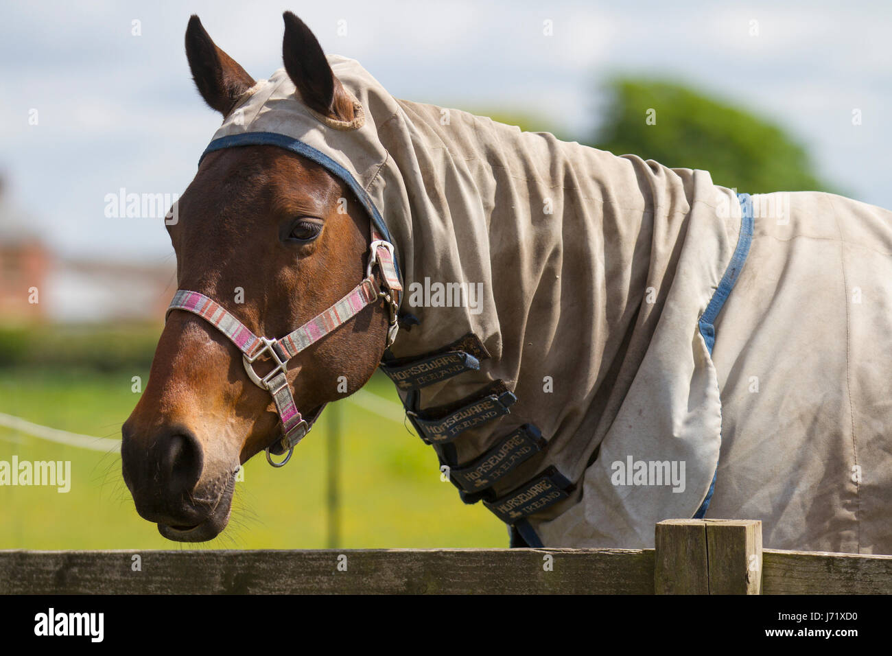 Southport, Merseyside, UK.   UK Weather. 23/05/2017.  Hot weather for horses which need to keep cool during the - Stock Image