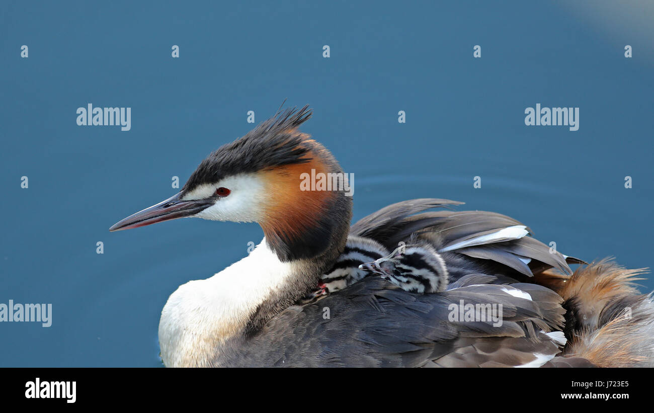 Great crested grebes, Podiceps cristatus, with baby chicks on its back in their natural habitat - Stock Image