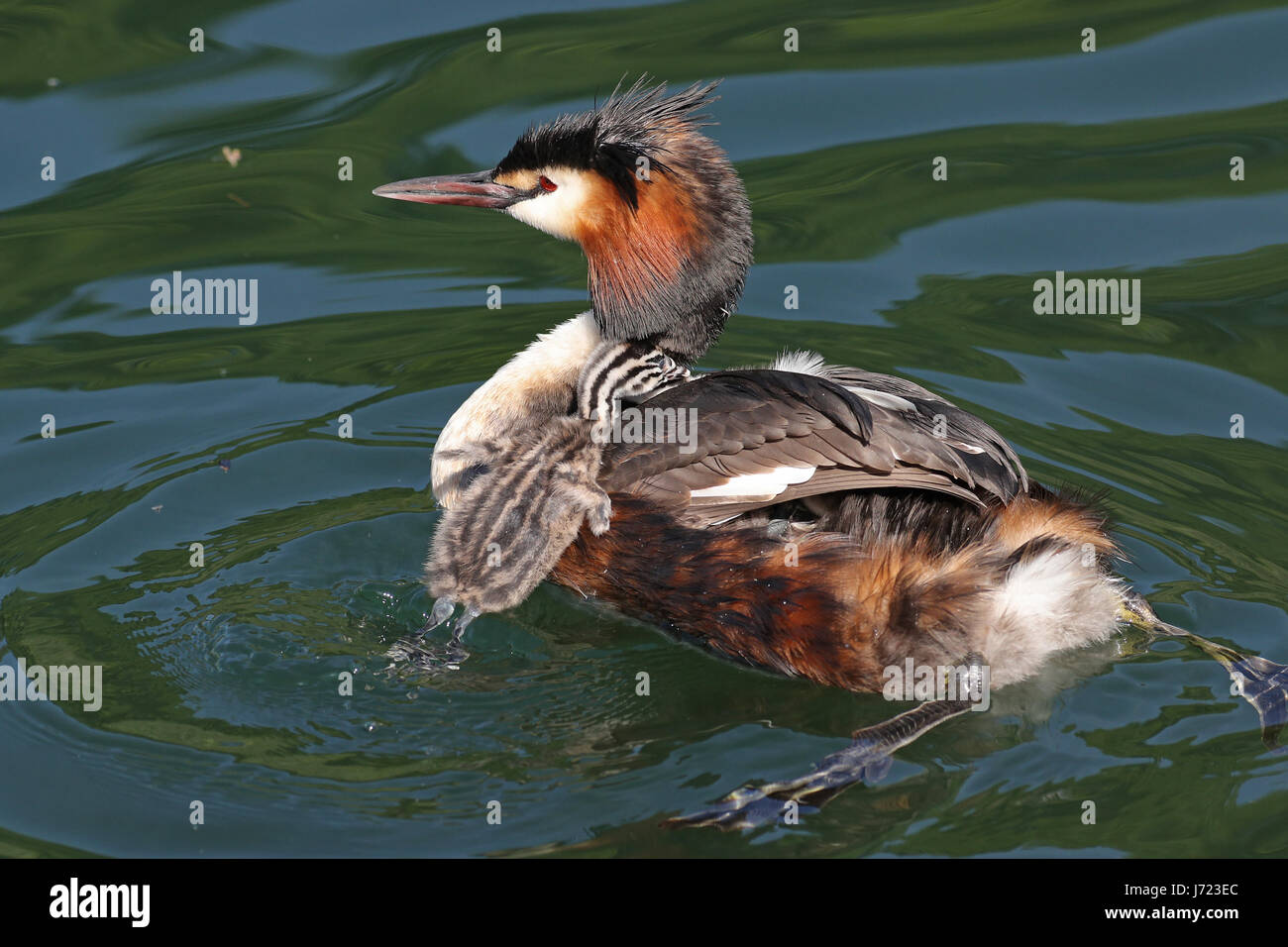 Great crested grebes, Podiceps cristatus, with baby chick climbing on its back in their natural habitat - Stock Image